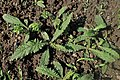 Cirsium eriophorum kz01.jpg