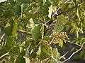 Cissus woodrowii (5781115478).jpg