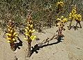 Cistanche phelypaea - Cabanas de Tavira Portugal 02.JPG