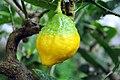 Citrus medica 001.jpg