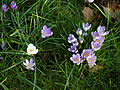 City of London Cemetery and Crematorium - crocuses 02.jpg