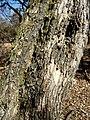 Clerodendrum glabrum, stam, b, Waterberg.jpg