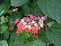 Clerodendrum thomsoniae 3.jpg