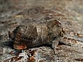 Clostera pigra - Small chocolate-tip - Кисточница малая (41140306921).jpg