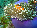 Clownfish (East Malaysian waters).jpg
