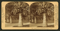 Cocoanut (coconut) trees in the white sands of Florida, U.S.A, from Robert N. Dennis collection of stereoscopic views 5.png