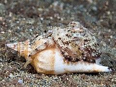 Coconut octopus (Amphioctopus marginatus) (45031078485).jpg