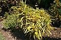 Codiaeum variegatum Robert Lavoris 2zz.jpg
