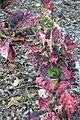 Codiaeum variegatum Tortoise Shell 3zz.jpg