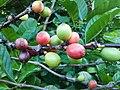 Coffea (Rubiaceae) 02.jpg