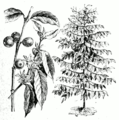 Coffea arabica.png