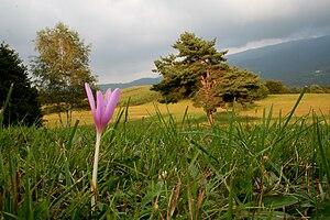 Limana - Image: Colchicum autumnale ENBLA02