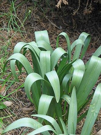 Colchicum bulbocodium - Image: Colchicum bulbocodium leaves 3