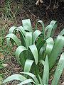 Colchicum bulbocodium leaves3.jpg