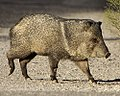 Collared Peccary crossing the road (cropped).jpg