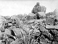 Collectie Nationaal Museum van Wereldculturen TM-10021428 Aloe's en Cereus cactusvegetatie op bergtop Aruba fotograaf niet bekend.jpg