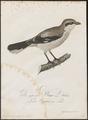 Collyrio excubitor - 1800-1812 - Print - Iconographia Zoologica - Special Collections University of Amsterdam - UBA01 IZ16600373.tif