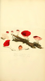 Coloured Figures of English Fungi or Mushrooms - t. 13.png