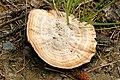 Coltricia perennis 2 - Lindsey.jpg