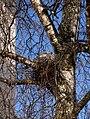 Columba palumbus -Linlithgow, Scotland -nest-8.jpg