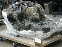 Mammoth skull on a dolly