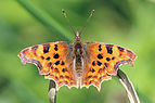 Comma butterfly (Polygonia c-album) 3.jpg