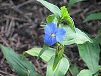 Commelina robusta - Flickr - peganum (2).jpg