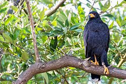 Common Black Hawk - Gavilán cangrejero (Buteogallus anthracinus anthracinus) (10460279303).jpg
