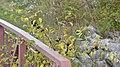 Common Buckthorn (Rhamnus cathartica) - Waterloo, Ontario 2019-10-11.jpg