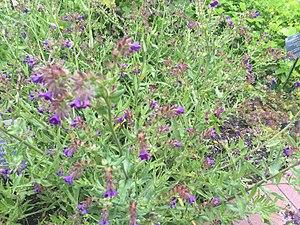 Anchusa officinalis