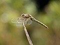 Common Darter Dragonfly (7973001598).jpg