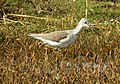 Common Greenshank Tringa nebularia by Dr. Raju Kasambe DSCN1592 (3).jpg