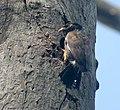 Common Myna- At nest I IMG 6123.jpg