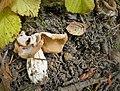 Common White Helvella. Helvella crispa (46140632072).jpg