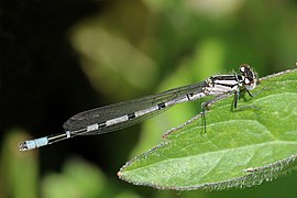Common blue damselfly (Enallagma cyathigerum) immature male.jpg