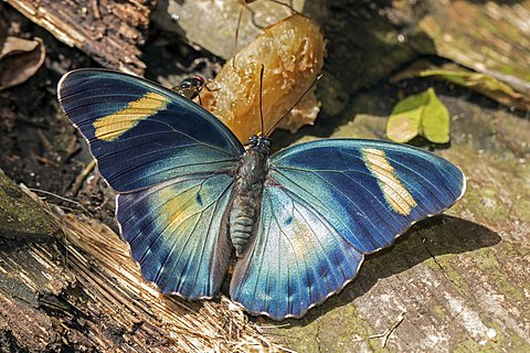 Common ceres forester (Euphaedra phaethusa) male