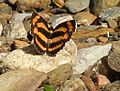 Common lascar butterfly.JPG