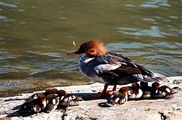 Common merganser small