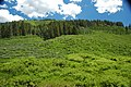 Conifer forest (Freeman Ridge, Preuss Range, Idaho, USA) 4 (49407498987).jpg