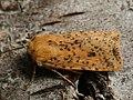 Conistra rubiginea - Dotted chestnut - Плоскотелая совка желтоватая (41120772241).jpg