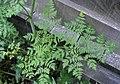 Conium maculatum leaf (13).jpg