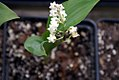 Convallaria majalis rosea 1zz.jpg