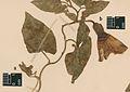 Convolvulus binghamiae - PhytoKeys-032-001-g007.jpg