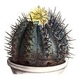 Copiapoa bridgesii pm14.jpg