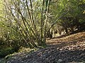 Coppiced woodland near Wastor - geograph.org.uk - 274227.jpg