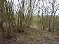 Coppicing in Old Wood, near Bunny - geograph.org.uk - 1750835.jpg