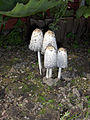 Coprinus comatus-Sept 2008.jpg