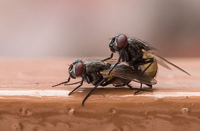 Copulating flies.jpg
