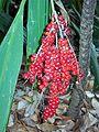 Cordyline in fruit Chatswood.jpg