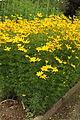 Coreopsis verticillata - Botanischer Garten Mainz IMG 5675.JPG